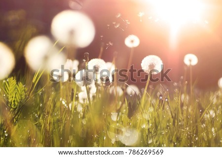 Fluffy dandelions glow in the rays of sunlight at sunset in nature on a meadow. Beautiful dandelion flowers in spring in a field close-up in the golden rays of the sun.
