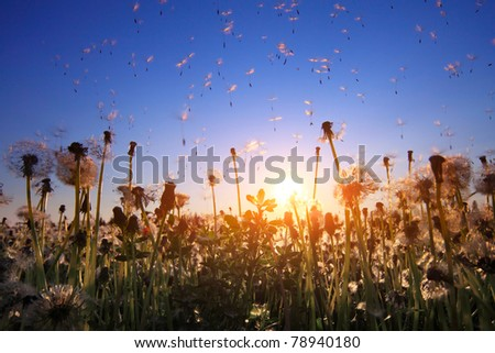 Fluffy dandelions with flying seeds at sunset sky background
