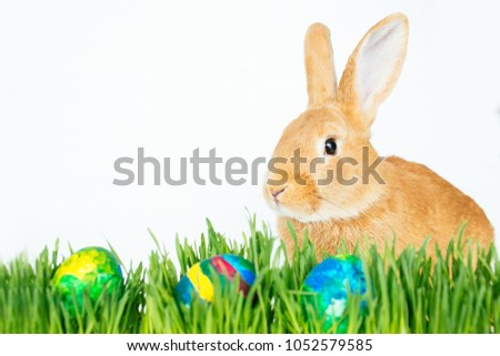 Fluffy easter bunny hunts for colored Easter eggs on green grass on isolated white background #1052579585