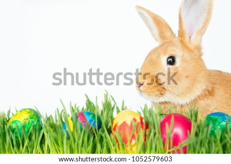 Fluffy easter bunny hunts for colored Easter eggs on green grass on isolated white background #1052579603