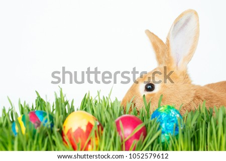 Fluffy easter bunny hunts for colored Easter eggs on green grass on isolated white background #1052579612