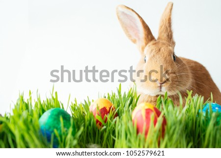 Fluffy easter bunny hunts for colored Easter eggs on green grass on isolated white background #1052579621
