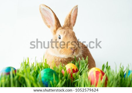 Fluffy easter bunny hunts for colored Easter eggs on green grass on isolated white background #1052579624