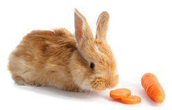 Fluffy foxy rabbit with carrot isolated on white