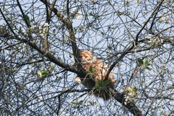 Fluffy ginger cat basks in the sun sitting on the branches of a cherry-tree on a warm clear spring day. Rescue a pet from a high tree. Selective focus.