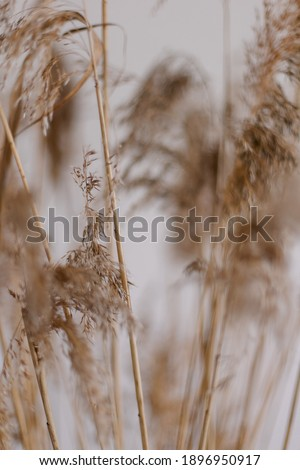 Fluffy grasses defocus bokeh. pampas grass dry texture close-up. Boho style modern design. Dried flowers natural pastel colors. Beautiful minimalistic eco friendly background Stock photo ©