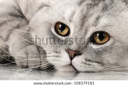fluffy gray beautiful adult cat, breed scottish-fold, very  close up  portrait