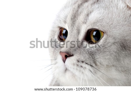 fluffy gray beautiful adult cat, breed scottish-fold, very  close up  portrait  , on white background, isolated