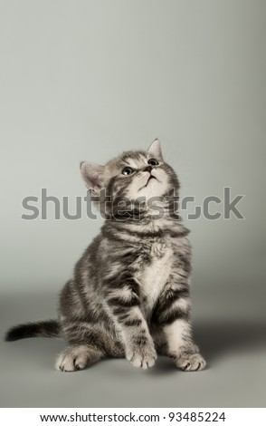 fluffy gray beautiful kitten, breed scottish-fold,  close portrait  on grey  background , focus on face , lamentably look
