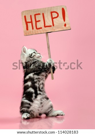 fluffy gray beautiful  kitten, breed scottish-straight, hold  banner on pink  background  , protest action