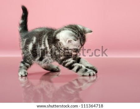 fluffy gray beautiful  kitten, breed scottish-straight, play upright  on pink  background