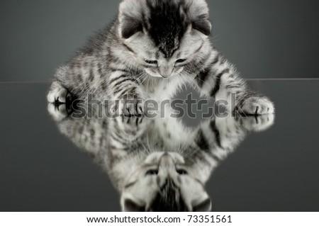 fluffy gray beautiful  kitten, breed scottish-straight,  stay on glass mirror,   on grey background  , look on himself