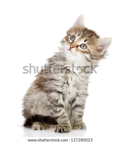 fluffy gray beautiful kitten looking up. isolated on white background