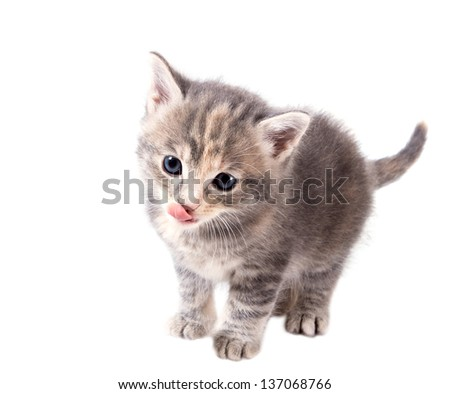 Fluffy gray kitten licking his lips isolated on white background