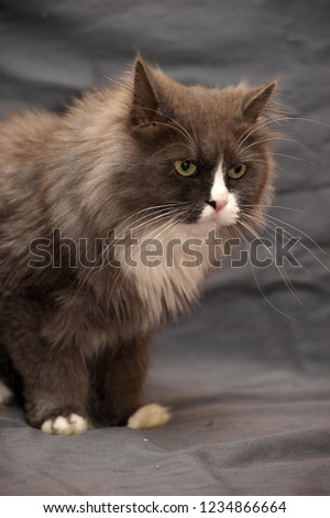 fluffy gray with white cat on a gray background #1234866664