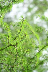 fluffy green larch branches of tree Larix decidua, European Larch tree twigs, natural forest background. young larch needles.