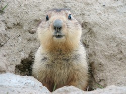 Fluffy head and torso groundhog without shadow on the background of the steppe soil