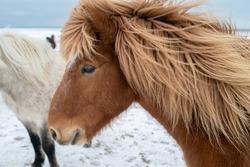 fluffy icelandic horses on sunset in winter