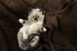 fluffy kitten on brown in a plaid. Bicolor Rag Doll Cat