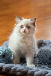 fluffy kitten on plaid. Bicolor Rag Doll Cat