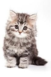 fluffy kitten sitting and looking at the camera (isolated on white)