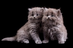 Fluffy kittens isolated on black background