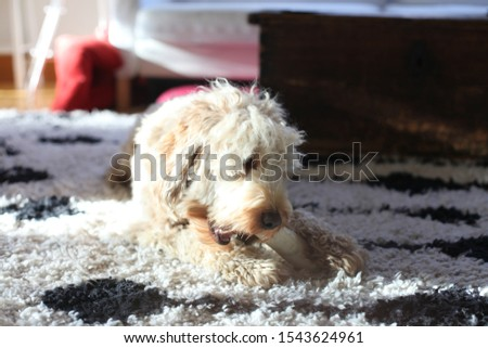 Fluffy labradoodle on fluffy carpet chewing