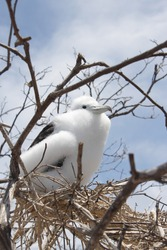 Fluffy little white seagull at the galapagos island in ecuador sitting in his nest in a tree, watching in the sky and waiting for food