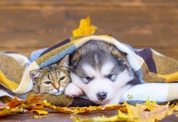 Fluffy malamute puppy sleeping next to a tabby cat wrapped in a checkered plaid on a brown wood background with dry maple leaves
