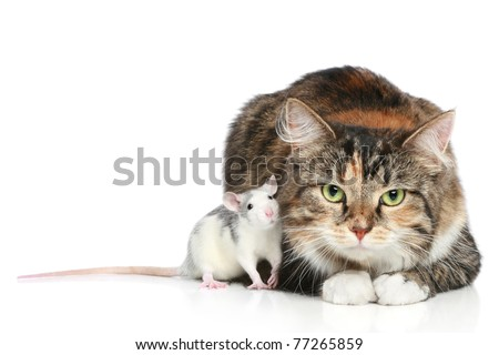 Fluffy mixed-breed cat and dambo rat on a white background