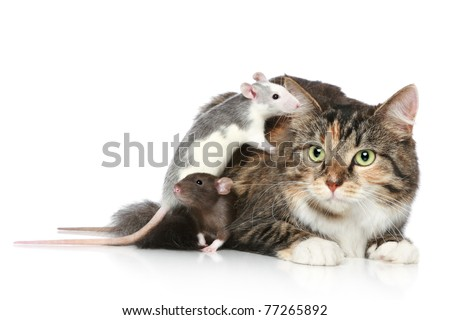 Fluffy mixed-breed cat and dambo rats resting on a white background