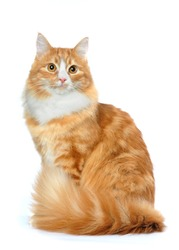 Fluffy mixed breed cat sits isolated on white. White chest and big tail looks very nice.