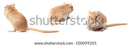 fluffy mouse isolated on white background. Gerbillinae