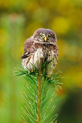 Fluffy owl. Eurasian pygmy owl, Glaucidium passerinum, perched and balacing on top of pine. Bird of prey in colorful autumn forest on background. The smallest owl in Europe. Bird with angry look.
