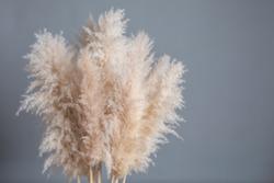 fluffy pampas grass on a gray background on grey background