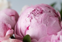 Fluffy pink peonies flowers with drops of water. Sarah Bernhardt Peony background. Macro horizontal.