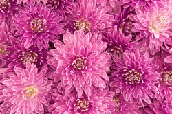 fluffy pink purple chrysanthemum flowers isolated on white background texture top view
