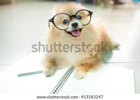 stock photo fluffy pomeranian dog with a smiling face wear glasses 453183247 - Каталог — Фотообои «Животные»