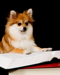 Fluffy Pomeranian pup propped up on a thick textbook, appears as though he's reading it.