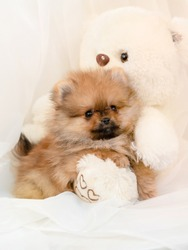 fluffy pomeranian puppy with teddybear