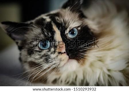 Fluffy ragdoll cat. Fluffy ball.
