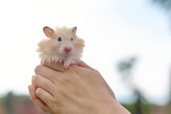 Fluffy red beige Syrian hamster in the hands of a girl, background sky, copy space