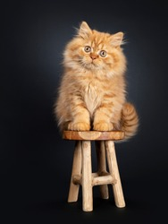 Fluffy red British Longhair cat kitten, sitting on wooden stool facing front. Looking at camera with orange eyes. Isolated on black background.