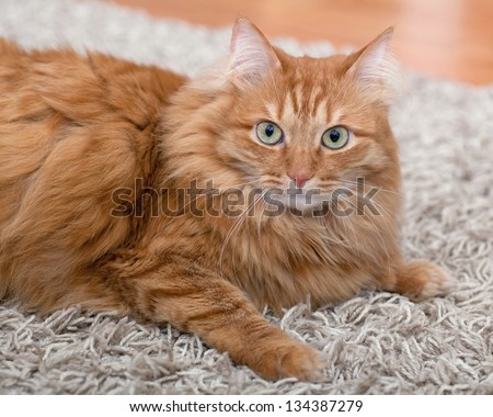 fluffy red cat lays on a gray carpet and looking at the camera