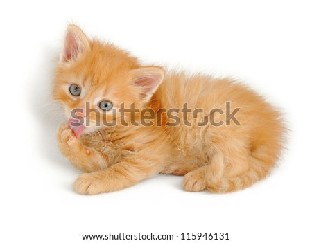 fluffy red kitten licking his paw, isolated on white