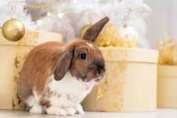 fluffy red lop-eared rabbit sits on a soft rug against the background of a Christmas gift in a beautifully decorated room for Christmas. New year's gift. greeting card, place for copy space for text