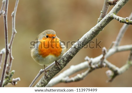Fluffy red robin in winter - stock photo