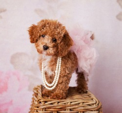 Fluffy Redhead Bichon Poodle Bichpoo Dog on a Girly Floral Backdrop with a Pink Tutu and Pearls