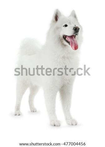 Fluffy samoyed dog isolated on white #477004456