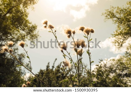 Fluffy seed heads in golden autumn sunshine  with a background of sunshine and clouds in a blue sky  #1500930395